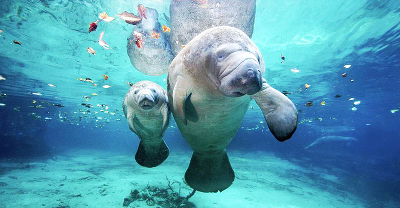 West Indian Manatee Reclassification Proposed - April, 2016