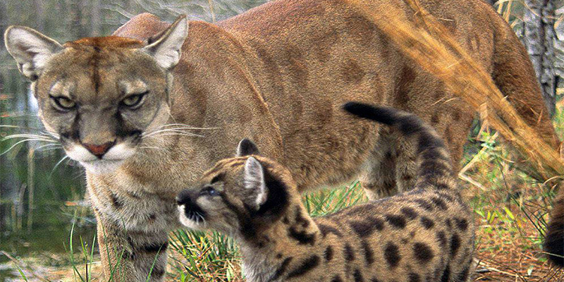 The Florida Panther and Kitten