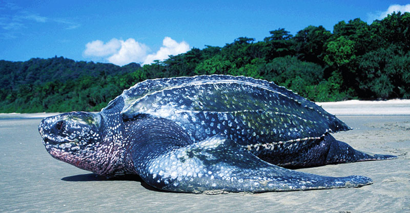 the endangered leatherback sea turtle wyldlyfe com